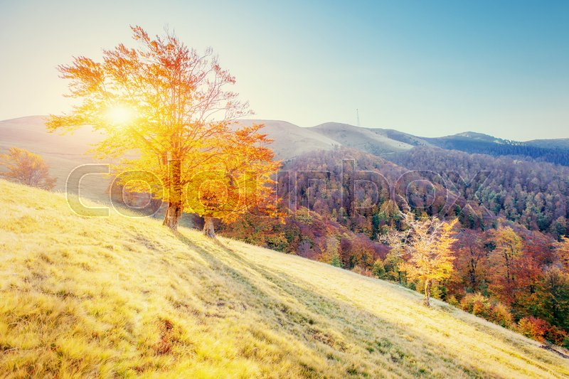 Birch forest in sunny afternoon while autumn season. Autumn Landscape. Ukraine. Europe, stock photo