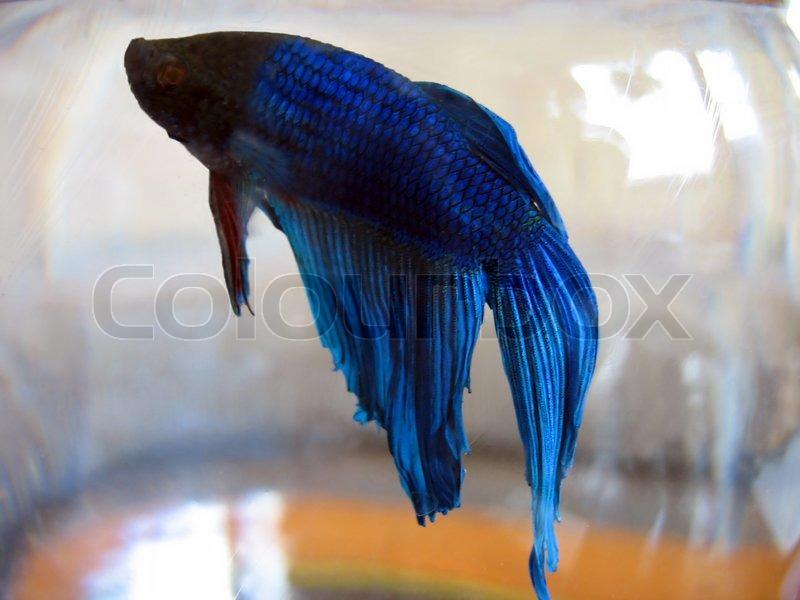blue betta fish stock photo colourbox