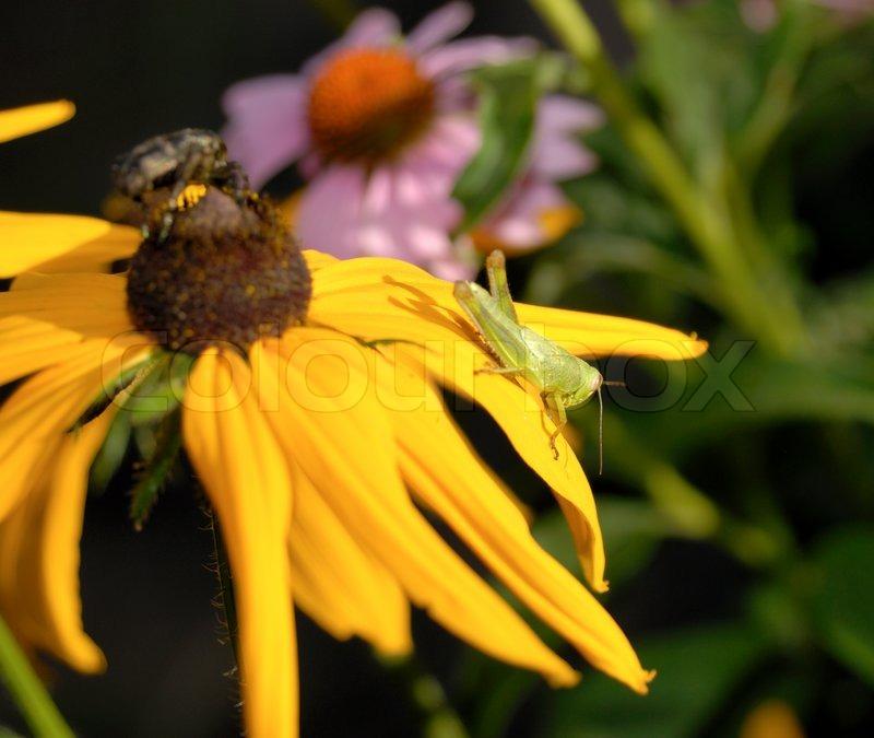 Green grasshopper sitting on petals of a yellow flower ...