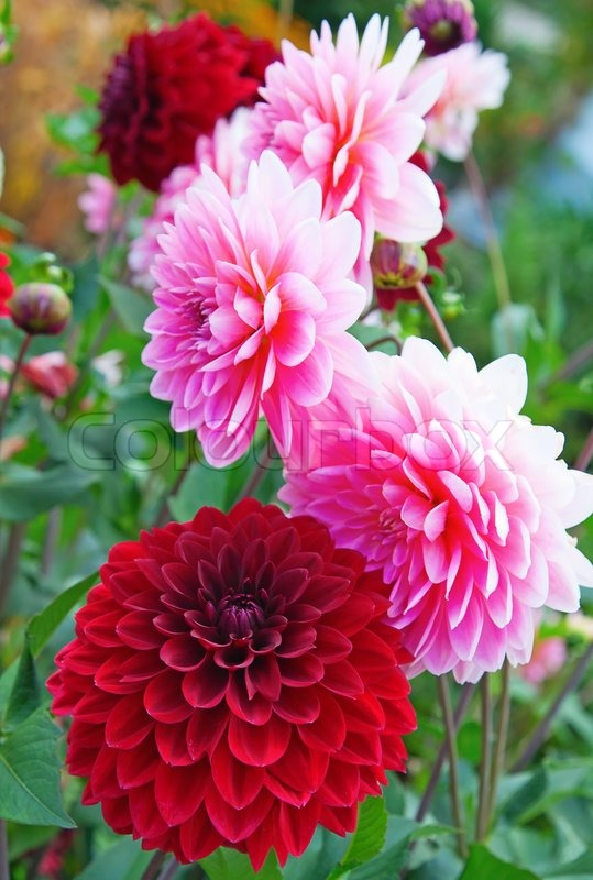 Colorful Dahlia Flower In The Garden Stock Photo Colourbox