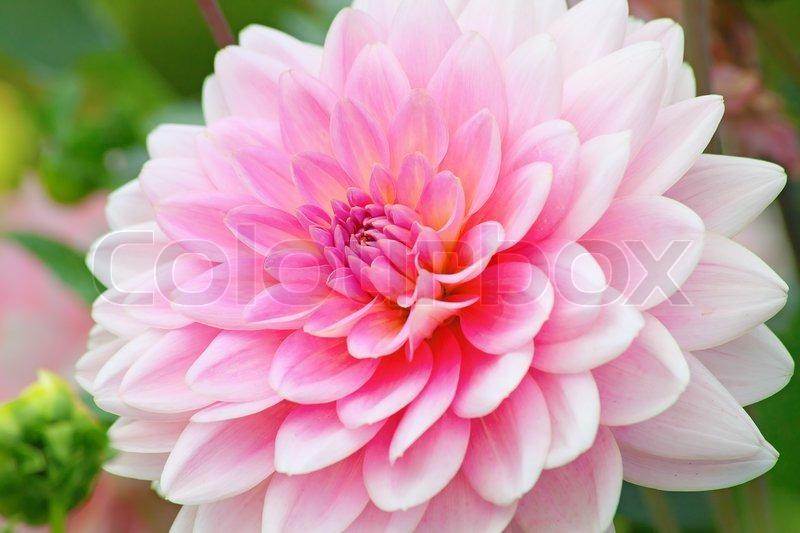 blomst dahlia