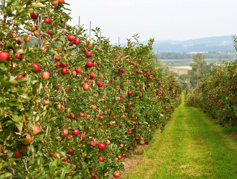 На Ставрополье на развитие суперинтенсивного садоводства в ЛПХ направят 80 млн рублей