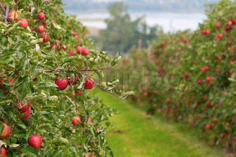 Apple garden full of riped red apples | Stock Photo | Colourbox