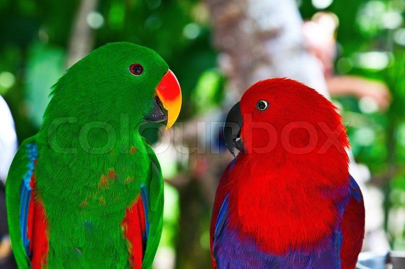 birds in love: pair of lori papageien  | stock bild