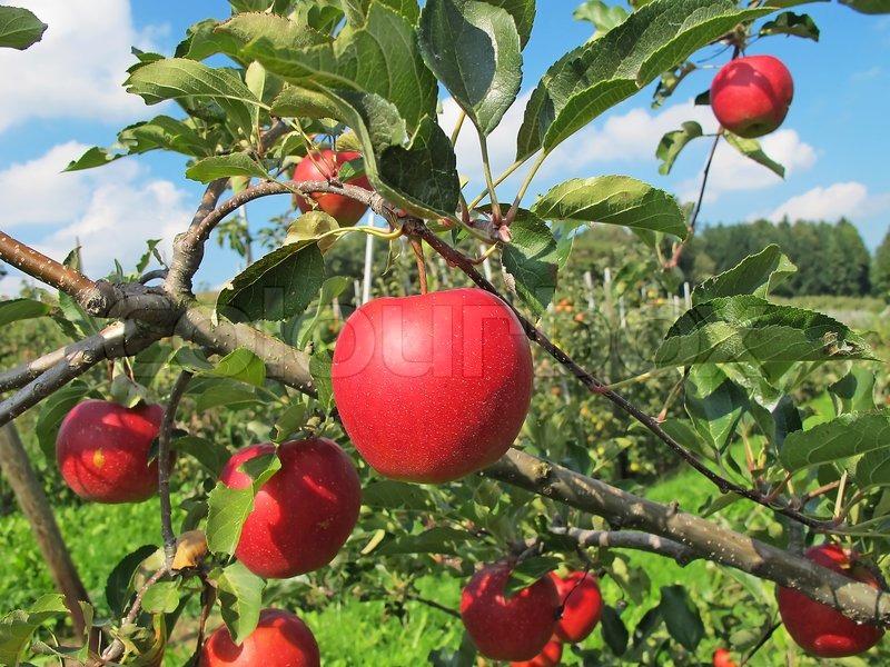 [تصویر:  2360234-384306-apple-garden-full-of-ripe...apples.jpg]
