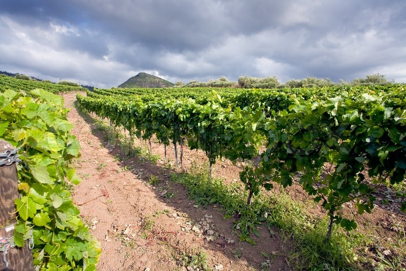 Stock image of 'vineyard on gentle slope in Etna region, Sicily'