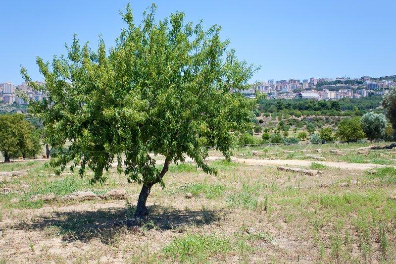 pfirsichbaum und blick auf die stadt agrigento sizilien. Black Bedroom Furniture Sets. Home Design Ideas