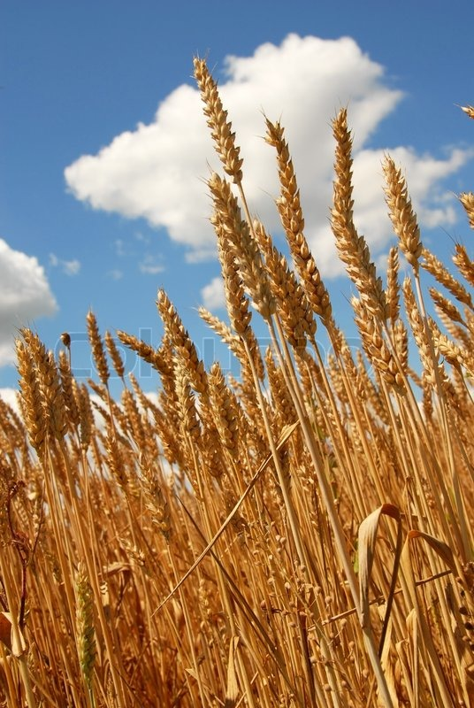 yellow wheat plant on field over scenic blue sky stock photo