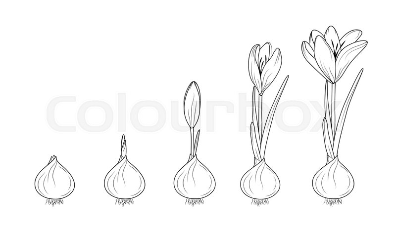 crocus germination from corm bulb to sprouts to flower free clip art spring flowers f free clip art spring flowers and music