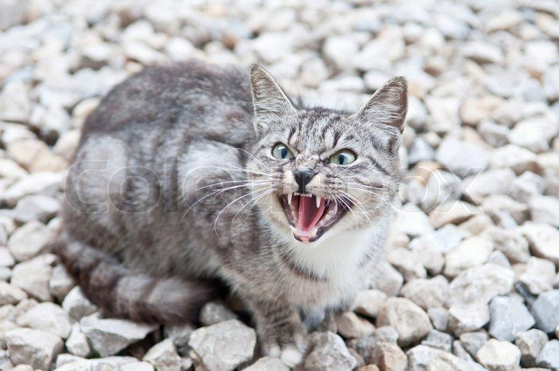 wild predatory cat warns danger stock photo colourbox
