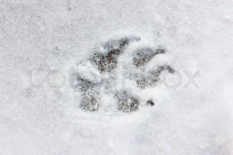 A dog track on snow stock photo colourbox a dog track on snow stock photo publicscrutiny Choice Image