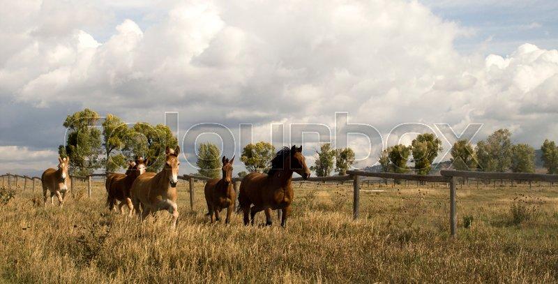 Wild Animal Horses Stampede Running Along Fence Senses Aware, stock photo