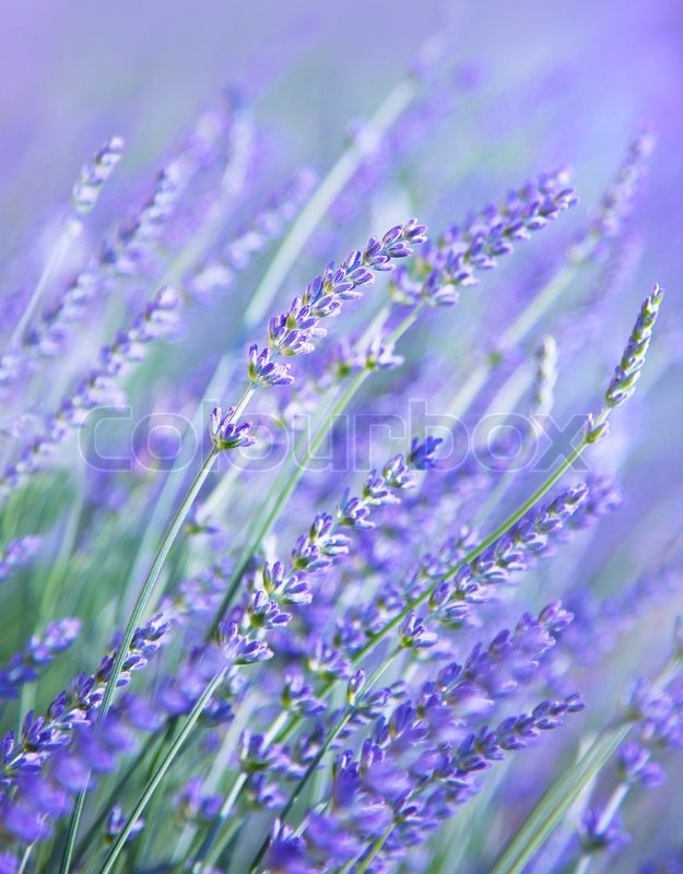 Stock image of 'Lavender flower field, fresh purple aromatic wildflower, natural background, macro with soft focus'