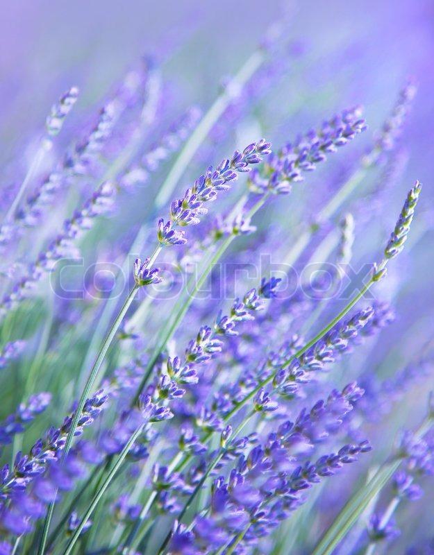 Lavender Flower Field Fresh Purple Aromatic Wildflower Natural