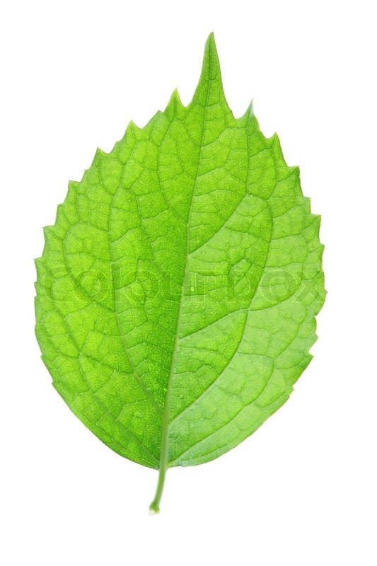 Single Green Leaf Isolated Over White Stock Photo