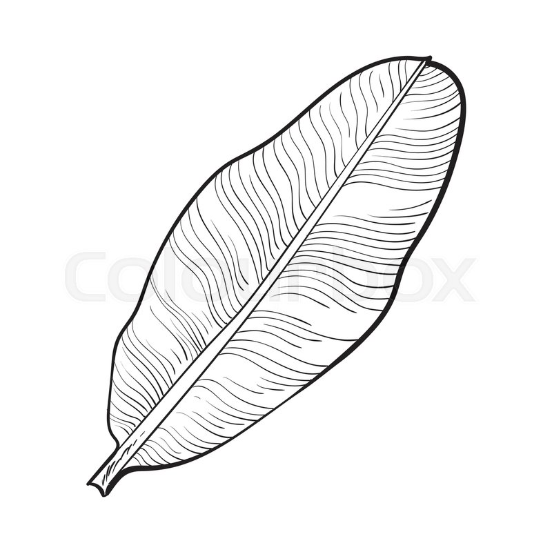 Full Fresh Leaf Of Banana Palm Tree Sketch Style Vector Illustration Isolated On White Background Realistic Hand Drawing