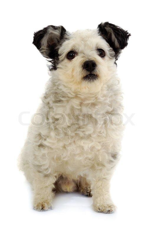 kleiner hund sitzt auf wei em hintergrund stockfoto colourbox. Black Bedroom Furniture Sets. Home Design Ideas