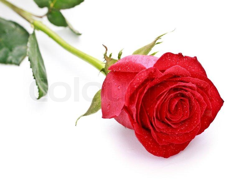 den yndigste rose single 40
