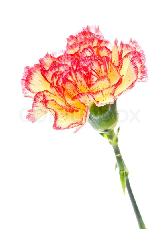 Single pink and yellow carnation isolated on white stock photo single pink and yellow carnation isolated on white stock photo colourbox mightylinksfo