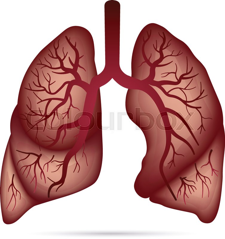 Human Lungs Anatomy For Asthma Stock Vector Colourbox