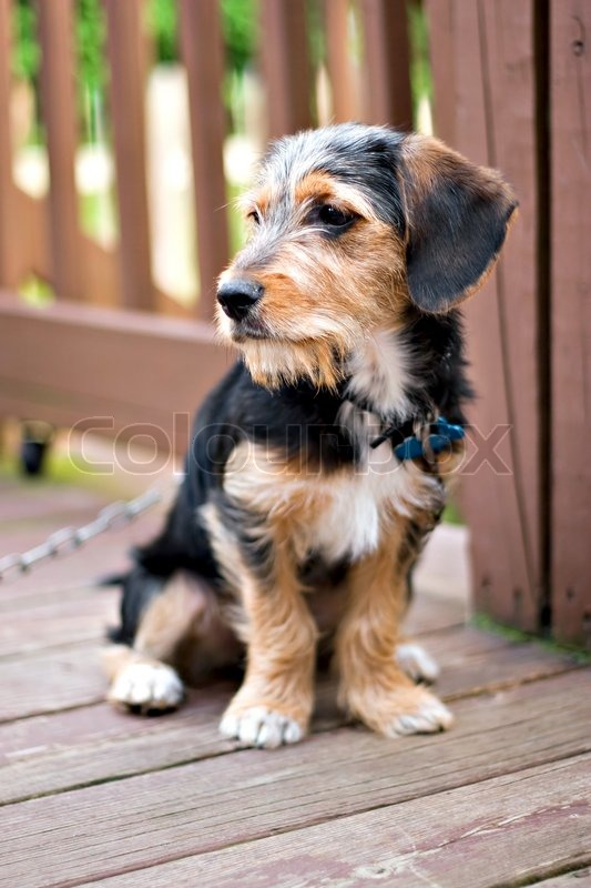Best Sea Beagle Adorable Dog - 2382695-a-cute-mixed-breed-puppy-laying-on-the-deck-the-dog-is-half-beagle-and-half-yorkshire-terrier-shallow-depth-of-field  Collection_697997  .jpg