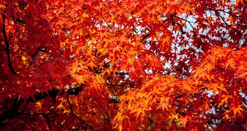 Autumn maple leaves background,Beautiful leaves , stock photo