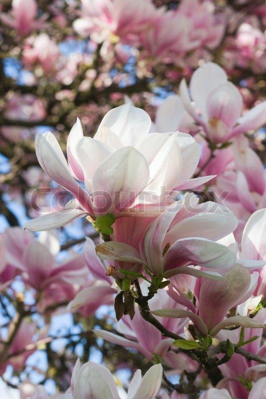 die bl te der magnolie zweig auf bl te baum hintergrund stock foto colourbox. Black Bedroom Furniture Sets. Home Design Ideas