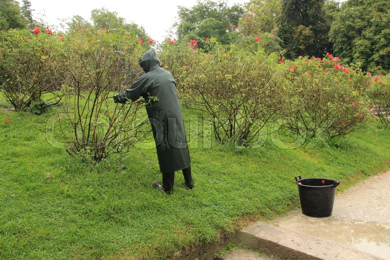 The gardener in raincoat is cutting the rose bushes in the garden in the park in the city in the wet and rainy summer, stock photo