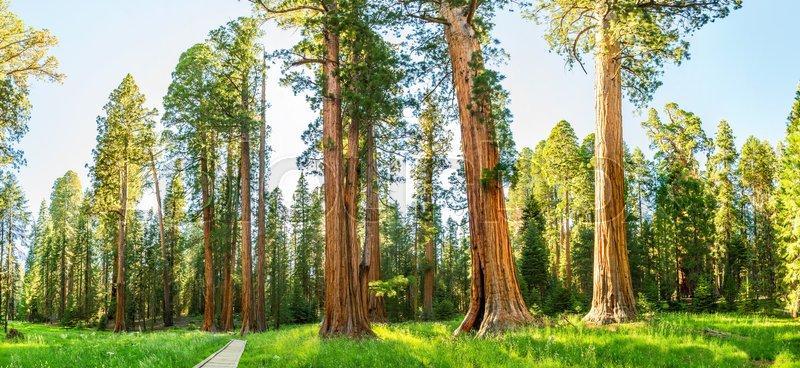 Mand store fyrretræer