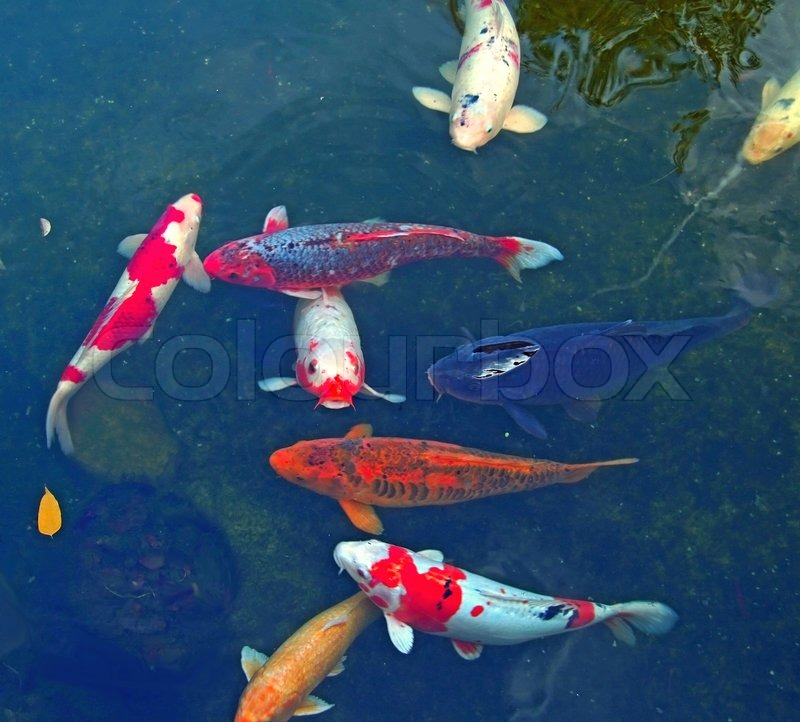 Colorful japanese fish koi carp in koi pond stock for Koi fish net