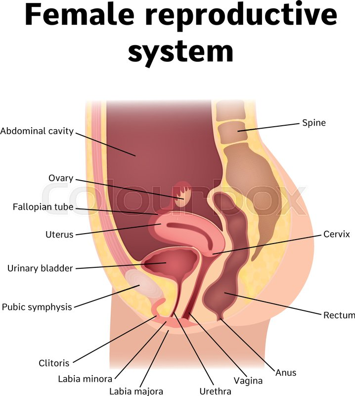 Female Internal Genital Organs Sectional Structure Of The Female