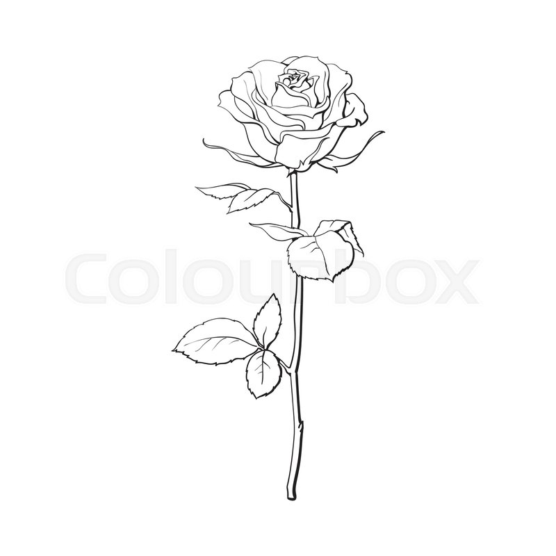 Contour Line Drawing Rose : Deep contour rose flower with green leaves sketch style