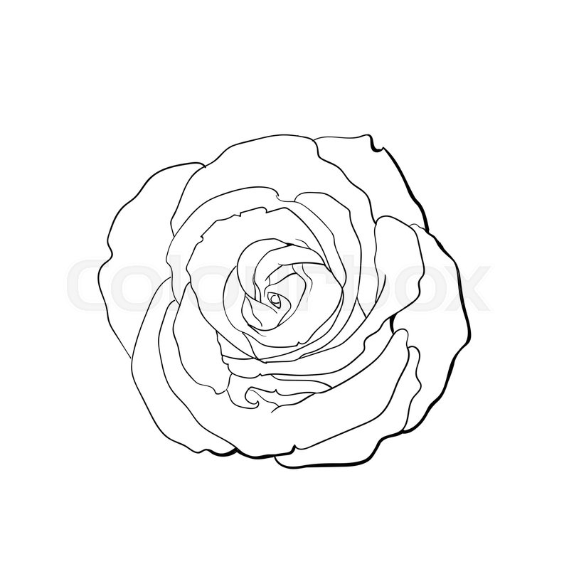 Contour Line Drawing Rose : Deep contour rose bud top view sketch stock vector