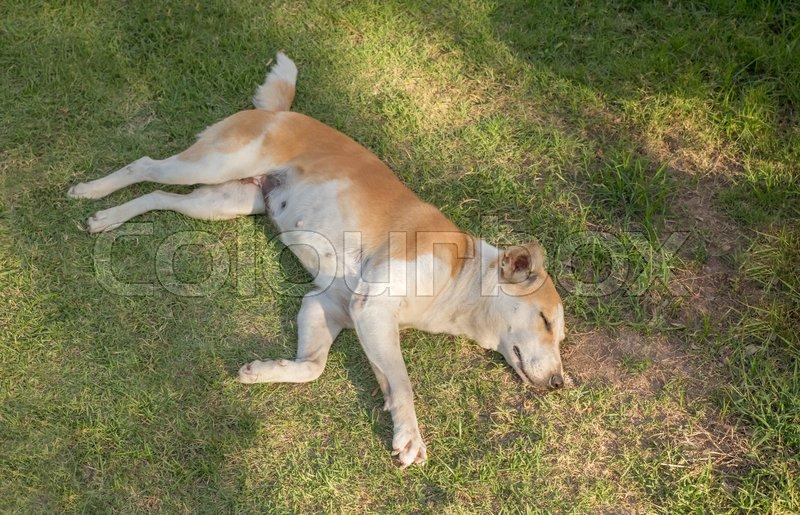 Dog sleep on the lawn, stock photo