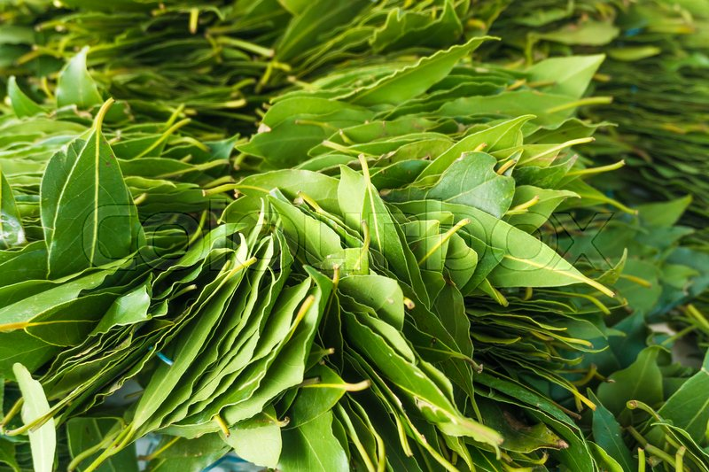 Green laurel leaves. Fresh leaves of laurel, stock photo