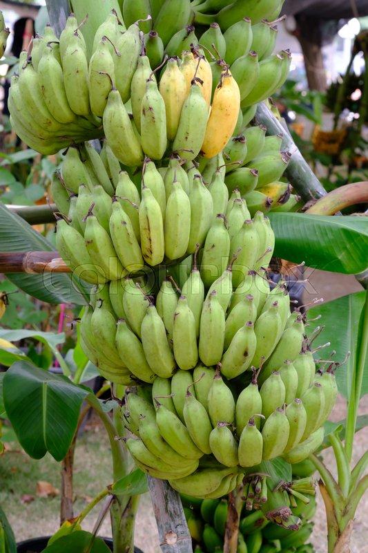 Green banana bunch in banana plant, stock photo