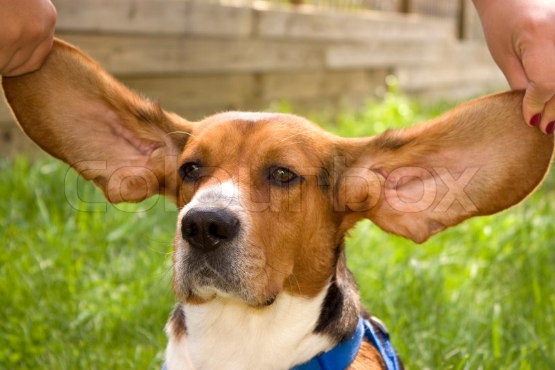 a cute young beagle puppy with huge floppy ears stock photo