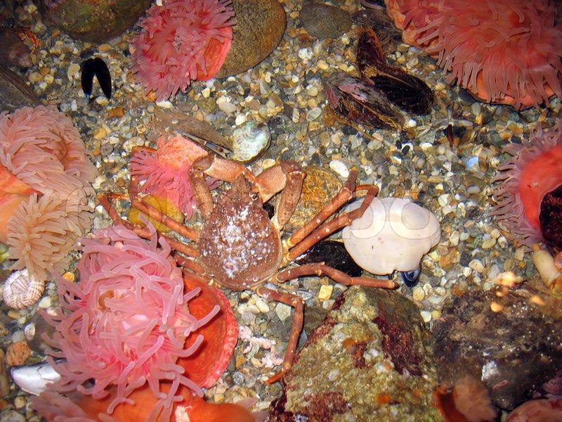 King Crab Underwater a Crab Underwater on The Ocean