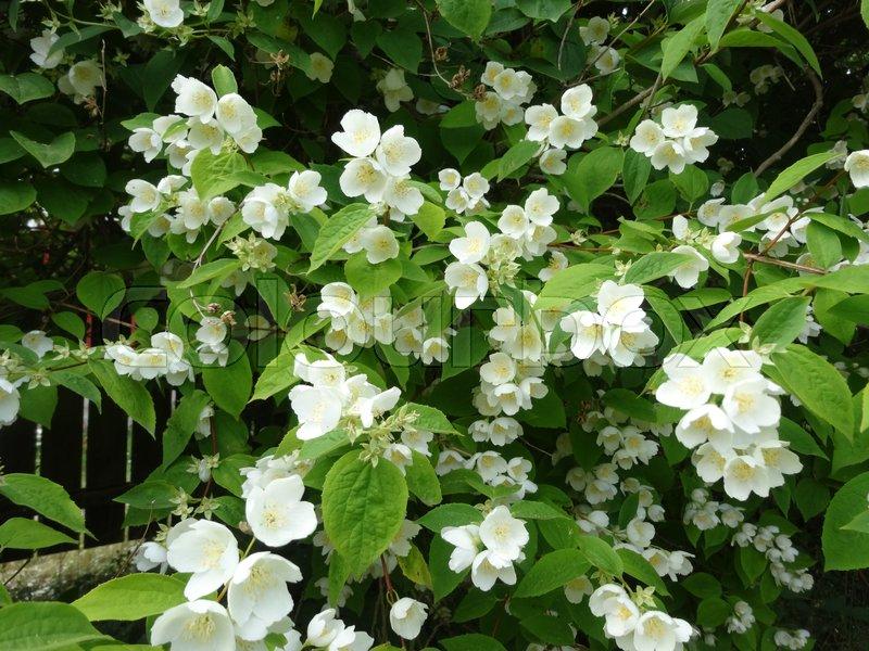 Schersmin bush with white flowers that smells like jasmine stock schersmin bush with white flowers that smells like jasmine stock photo colourbox mightylinksfo