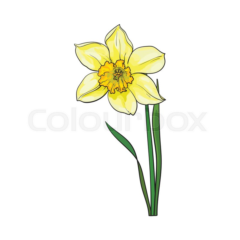 Single Yellow Daffodil Narcissus Spring Flower With Stem And Leaves Sketch Vector Illustration Isolated On White Background Realistic Hand Drawing Of