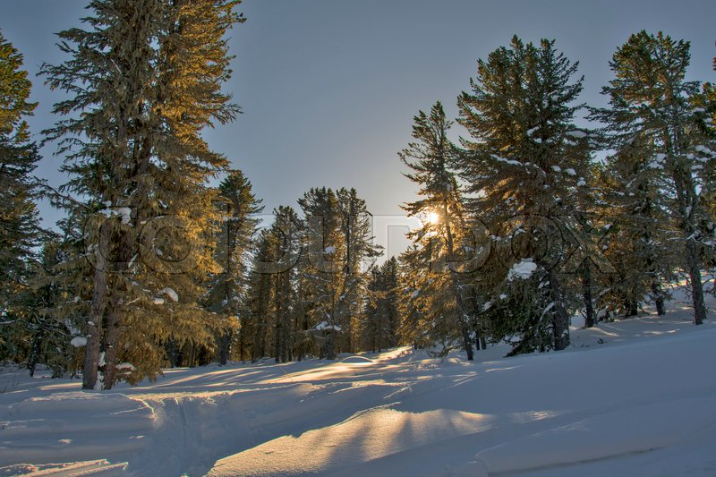 Siberian cedar forest, snowy winter, the shade of trees. Panorama HDR, stock photo