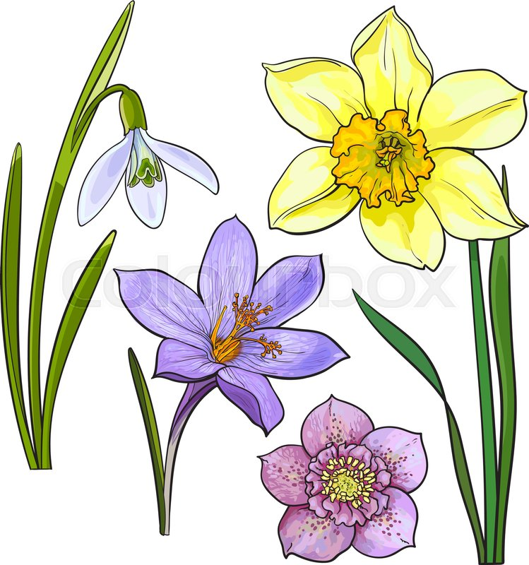 Set Of Summer Flowers Daffodil Snowdrop Crocus Sketch Vector Illustration Isolated On White Background Realistic Hand Drawing Spring With