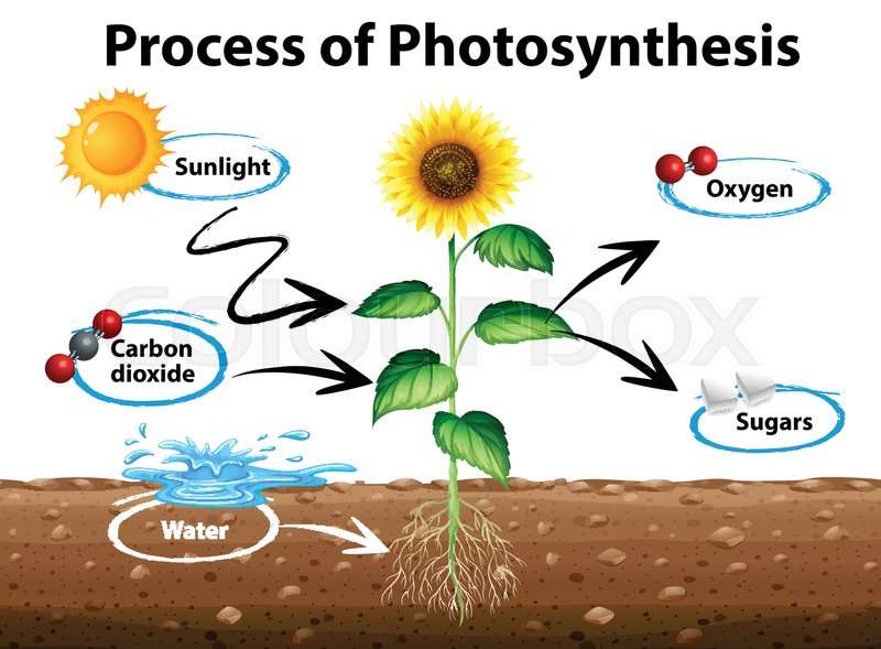 Diagram Showing Sunflower And Process Of Photosynthesis Manual Guide