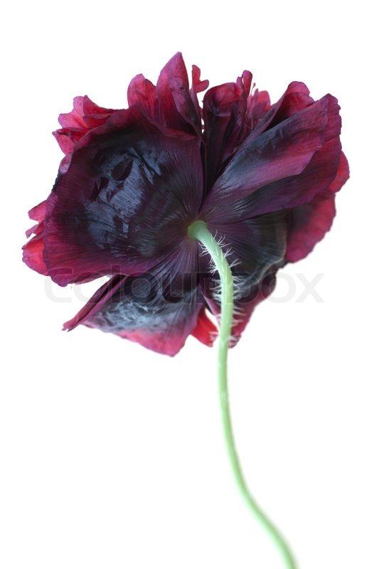 Deep purple-maroon double flowers Poppy Paeony Black (Papaver ...