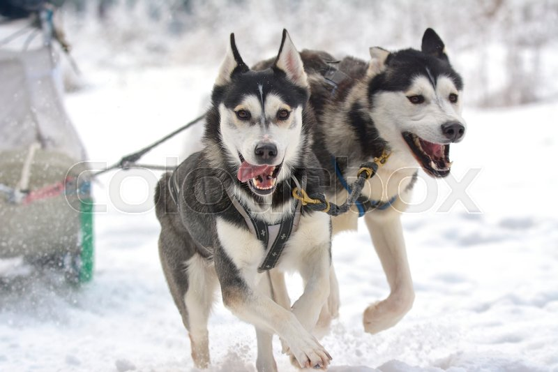 Stock image of 'Sledding with husky dogs'