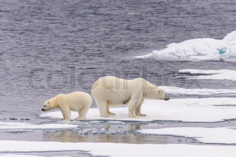 Polar bear (Ursus maritimus) mother and cub on the pack ice, north of Svalbard Arctic Norway, stock photo
