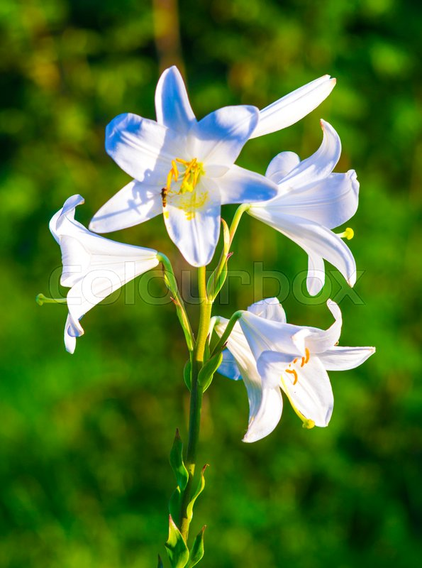 Lilies. madonna lily,flowers spring,lily on white,white flowers,white petals,lily flowers. amazing white flowers,spring flowers. lily white, stock photo
