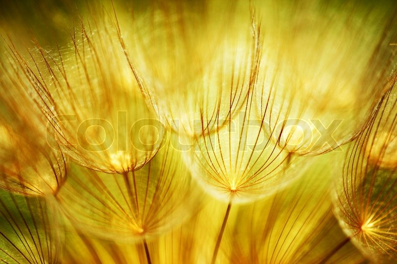 Soft dandelions flower, extreme closeup, abstract spring nature background, stock photo