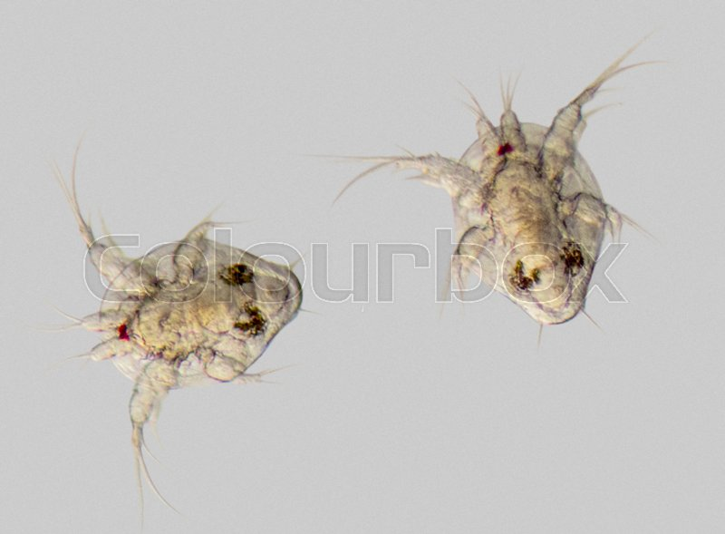 Stock image of 'microscopic shot of two cupepod nauplius larvae in grey back'