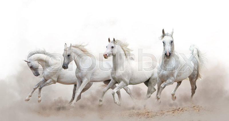 Beautiful white arabian horses running over a white background ...